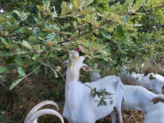 Savons au lait de chèvre alpines bio maison berthe guilhem